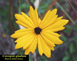 Coreopsis gladiata