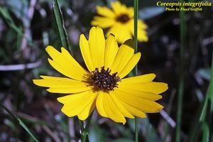 Coreopsis integrifolia