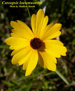 Coreopsis leavenworthii