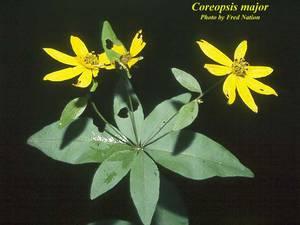 Coreopsis major