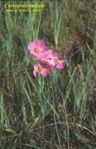 Coreopsis nudata