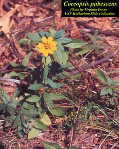 Coreopsis pubescens