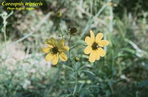 Coreopsis tripteris
