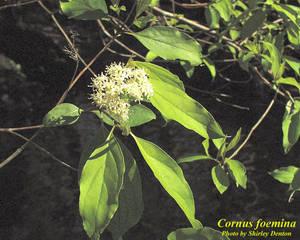 Cornus foemina