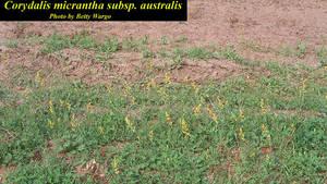 Corydalis micrantha subsp. australis