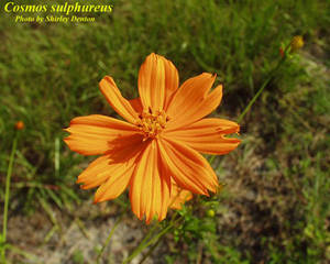 Cosmos sulphureus