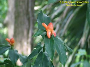 Costus pulverulentus