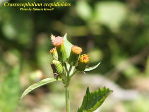 Crassocephalum crepidioides