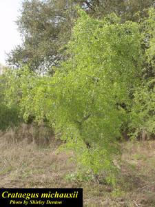 Crataegus michauxii