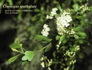 Crataegus spathulata