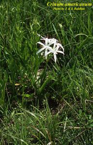 Crinum americanum