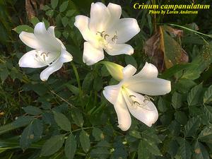 Crinum campanulatum