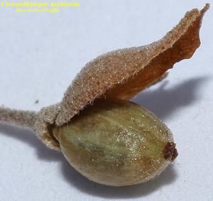Crocanthemum arenicola