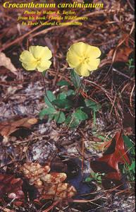 Crocanthemum carolinianum