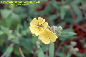 Crocanthemum corymbosum