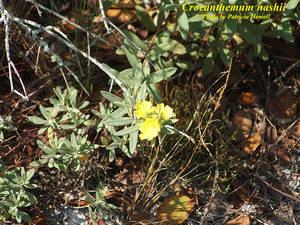 Crocanthemum nashii