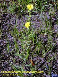 Crocanthemum rosmarinifolium