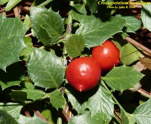 Crossopetalum ilicifolium