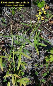 Crotalaria lanceolata