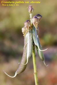 Crotalaria pallida var. obovata