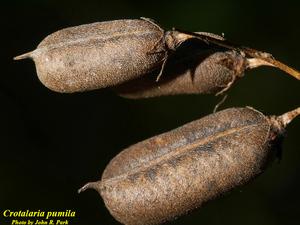 Crotalaria pumila