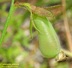 Crotalaria purshii
