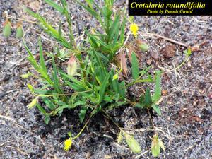 Crotalaria rotundifolia