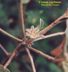 Croton capitatus