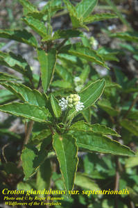 Croton glandulosus var. septentrionalis