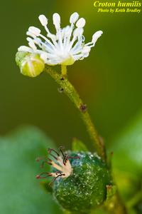 Croton humilis