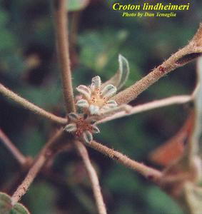 Croton lindheimeri