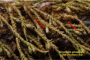 Cryphaea glomerata