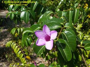 Cryptostegia grandiflora