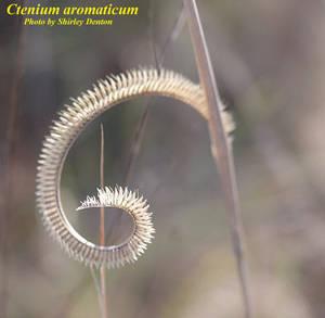 Ctenium aromaticum
