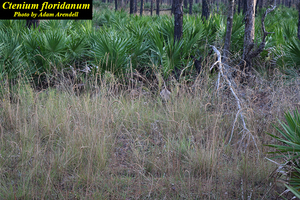 Ctenium floridanum