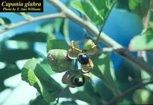Cupania glabra