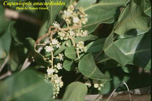 Cupaniopsis anacardioides