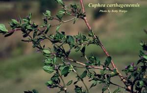 Cuphea carthagenensis