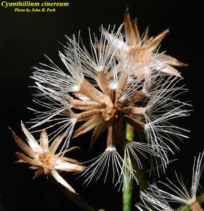 Cyanthillium cinereum