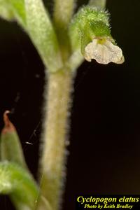 Cyclopogon elatus