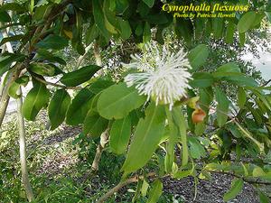 Cynophalla flexuosa