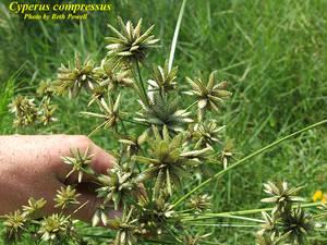 Cyperus compressus