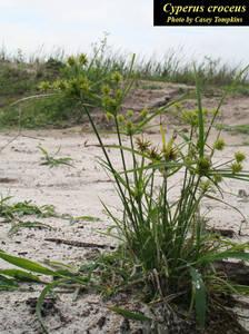 Cyperus croceus