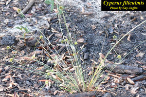 Cyperus filiculmis