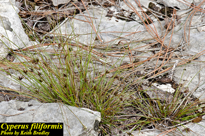 Cyperus filiformis