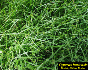 Cyperus hortensis