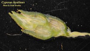 Cyperus hyalinus