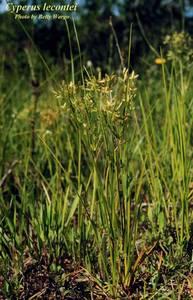 Cyperus lecontei