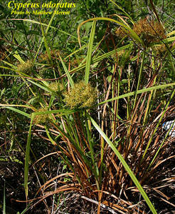 Cyperus odoratus