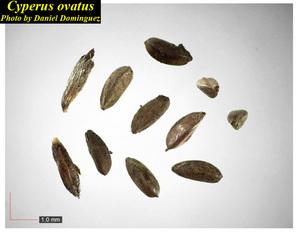 Cyperus ovatus